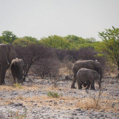 Gruppo di Elefanti, Eland Drive, Etosha National Park, Namibia