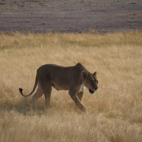 Leonessa, Etosha National Park, Namibia