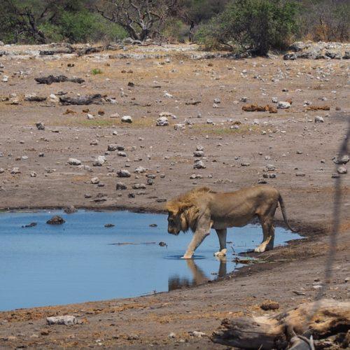 Lion, Koinachas, Etosha National Park, Namibia