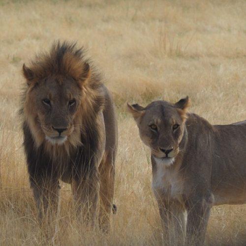 Re e regina del parco, Etosha National Park, Namibia