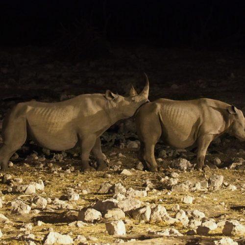 Rinoceronti, Etosha National Park, Namibia