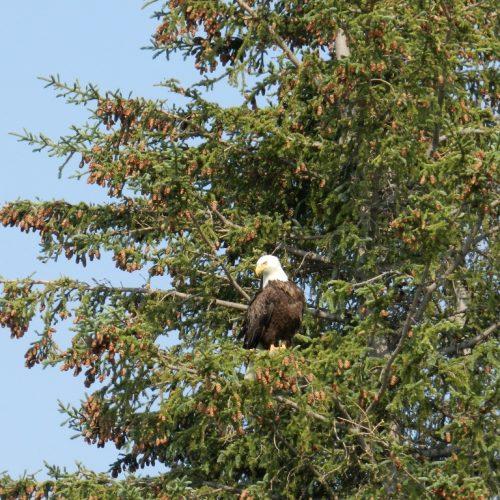 Bald Eagle, Cooper Landing, Alaska