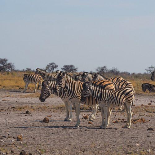 Zebre, Etosha National Park, Namibia