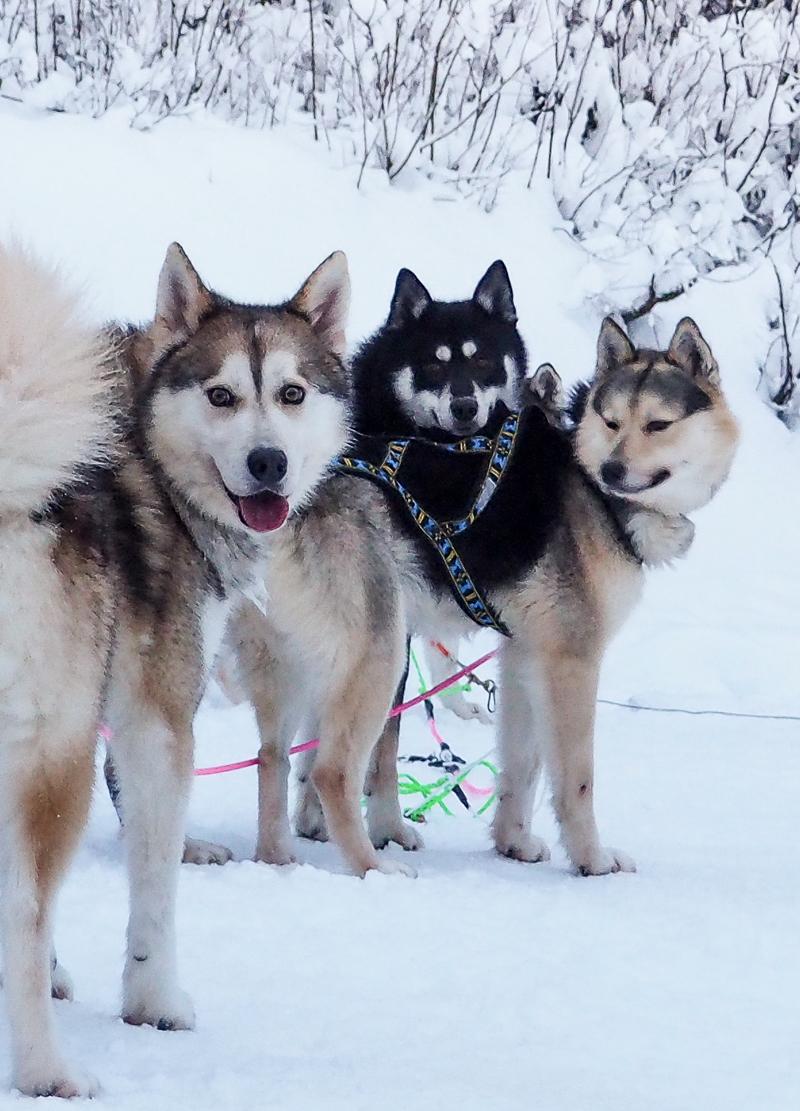 Huskies presso Shaman Huskies
